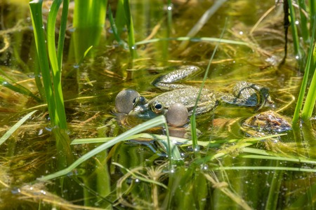 A large green frog with puffy cheeks sits in the marsh. Stok Fotoğraf