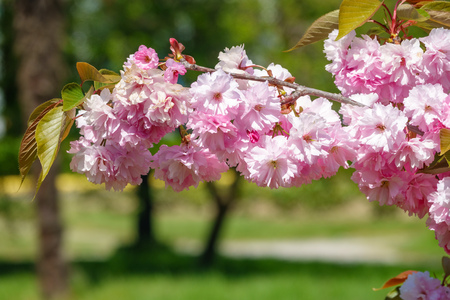 Lush blooming pink sakura blossoms. Background image with beautiful flowers.