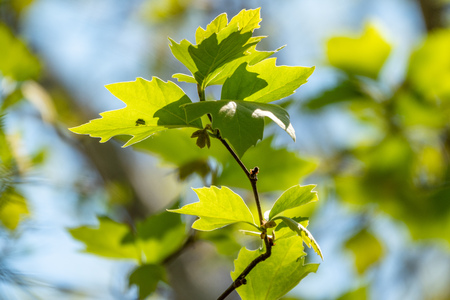 Green maple leaves with blurred background in the sunset light. Stok Fotoğraf