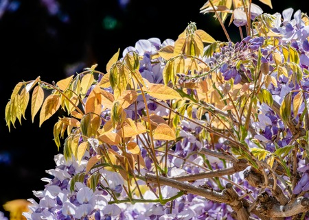 Lush purple flowers of wisteria in sunset light on a black background. Stok Fotoğraf