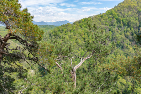 Pines on a green mountainside in spring. Green valley and high mountains on the horizon.
