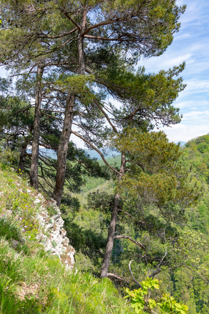 Pines on a green mountainside in spring.