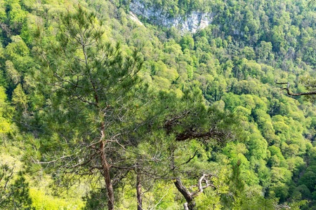 Pines on a green mountainside in spring or summer. Pines against the background of dense green forest.