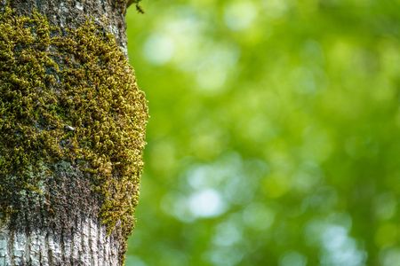 Moss-covered tree trunk with blurred green background. Green moss on defocused bokeh background. Copy space background. Stok Fotoğraf