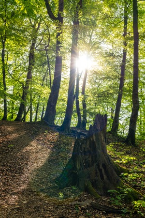 Tourist trail in the forest illuminated by the setting sun. Mountain path in the forest. Forest path in the mountains. Old stump on a forest path. Stok Fotoğraf