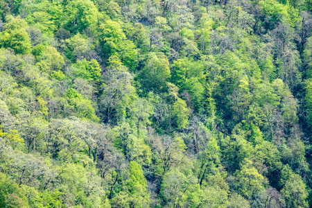 Thick green forest on the hillside. Spring colors in the mountain forest. Background image.