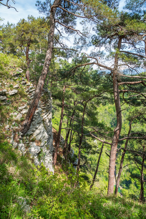Pines on a green mountainside in spring or summer.