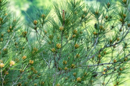 Pine branches for decoration design. Natural background. Spring season. Stok Fotoğraf