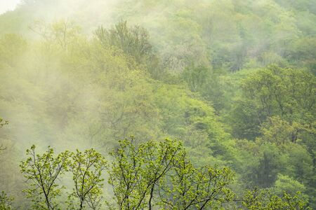 Thick green forest on a hillside in the morning mist. Green mountain forest in spring or summer. Cloudy weather in the mountain forest.