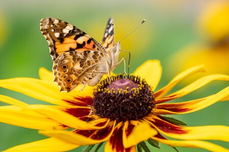 Butterfly Vanessa cardui sits on a yellow flower and drinks nectar with its proboscis. Background with a beautiful butterfly on a flower.