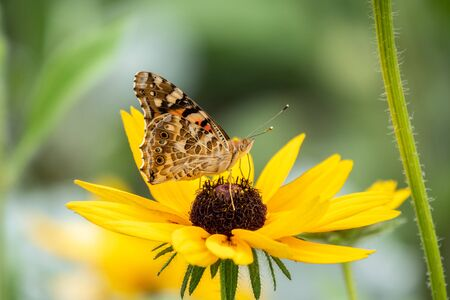 Butterfly Vanessa cardui sits on a yellow flower and drinks nectar with its proboscis. Background with a beautiful butterfly on a flower. Reklamní fotografie