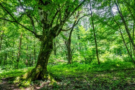 The big tree Carpinus Betulus, commonly known as the European or common hornbeam on a green forest glade. Stock Photo