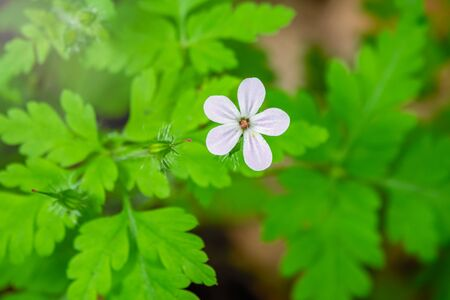 Beautiful white wild forest flower. Geranium robertianum, or herb-Robert, red robin, death come quickly, storksbill, stinking Bob, squinter-pip, crow's foot, Roberts geranium
