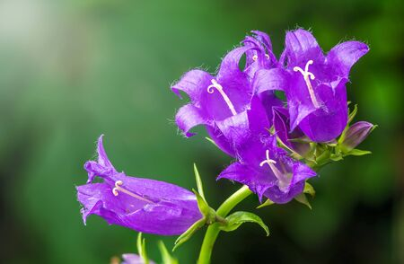 Campanula persicifolia, the peach-leaved bellflower,is a flowering plant species in the family Campanulaceae Standard-Bild - 129252361