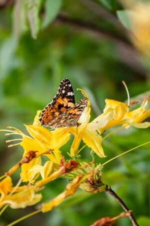Butterfly Vanessa cardui sits on a yellow flower and drinks nectar with its proboscis. Standard-Bild - 129252611