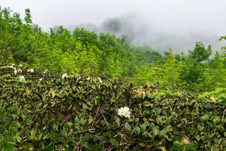 Bushes of white mountain rhododendron in dense fog. Beautiful flowers of rhododendrons bloom in the fog in the Caucasus Mountains