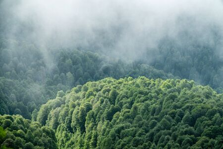 Thick green forest on a hillside in the morning mist. Green mountain forest in spring or summer. Cloudy weather in the mountain forest. Trees in the fog. Фото со стока