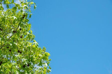 American sweetgum on a background of blue sky. American sweetgum, Also known as amber tree, American storax, hazel pine, bilsted, redgum satin-walnut, star-leaved gum alligatorwood, or simply sweetgum