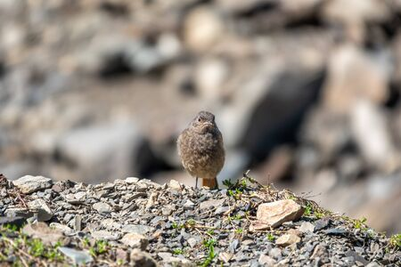 A young black redstart - Phoenicurus ochruros sits on stones. Little bird with blurry background.