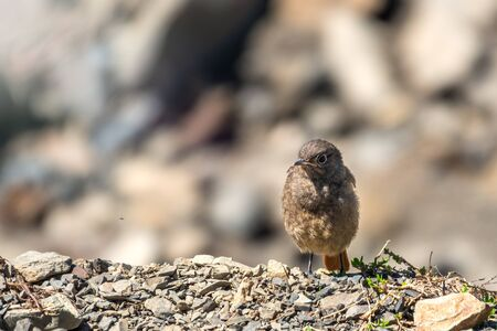 The young bird is closely watches the flying prey. A young black redstart - Phoenicurus ochruros sits on stones. Little bird with blurry background.