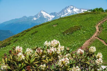 Weiße Rhododendronblüten und hohe Berge mit schneebedeckten Gipfeln. Rhododendron caucasicum