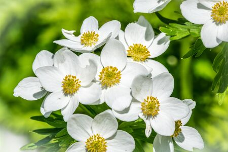 Beautiful white forest or mountain flowers Anemone nemorosa, wood anemone, windflower, thimbleweed, or smell fox