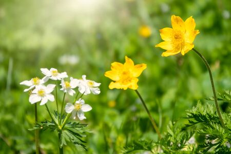 Beautiful yellow wild flower on a green background with other flowers. Yellow flower Caltha from the buttercup family. Yellow flower with green blured background.