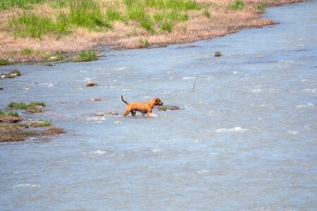 The brown Staffordshire Terrier dog enters the water of the river. Dog playing in the river