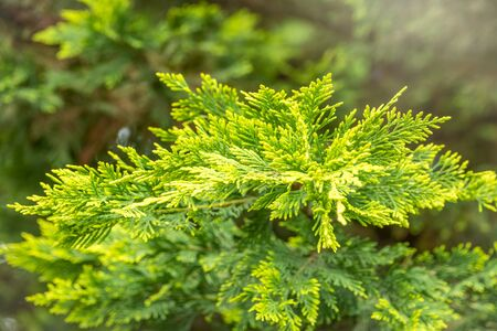 Thuja branches with drops of water after rain. Wet branches in the sunset light. Zdjęcie Seryjne