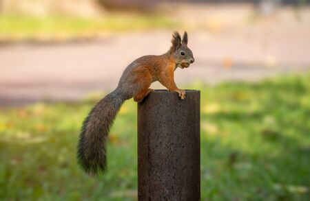 A squirrel with a nut sits on a metal support in an autumn park. ute red squirrel in autumn scene