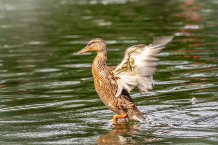 Duck takes off from a pond, wide open wings. Take off a wild duck mallard, Anas platyrhynchos, female