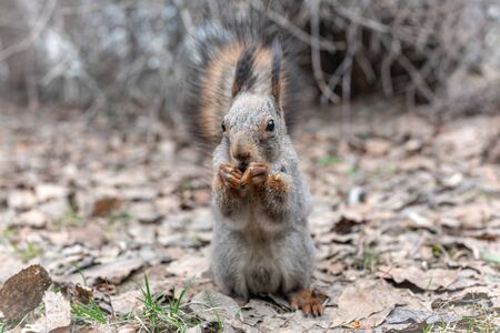 Squirrel eats nuts on fallen leaves in autumn. Squirrel in autumn park.