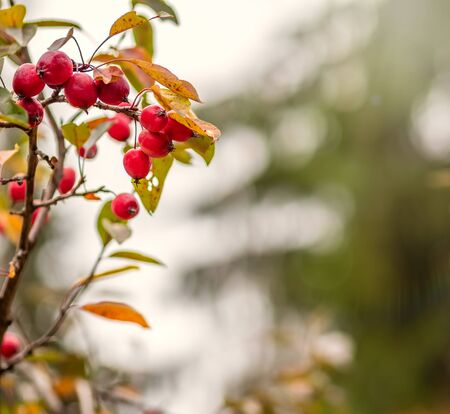 Bright red small wild apples among the yellow leaves in autumn. Small autumn apples among the yellowing foliage