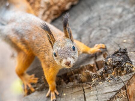 Portrait of a squirrel on a tree trunk. A curious red squirrel peeks out from behind a trunk of a sawn tree.