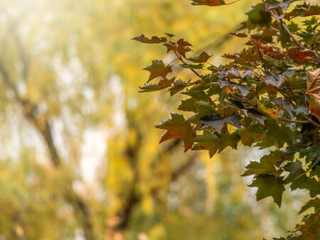 Autumn green, yellow and orange maple leaves. Autumn maple leaves background Stock fotó