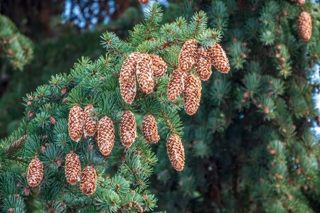 Fir branches with lots of cones. Lot of fir cones on spruce branch close up Stock fotó