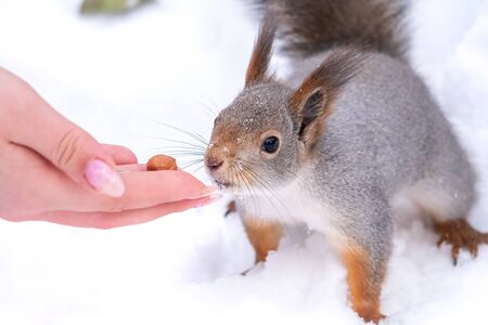Girl feeds a squirrel with nuts at winter. Squirrel eats nuts from the girls hand. 版權商用圖片