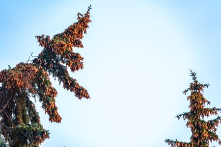 Green spruce branches with needles and cones against a blue sky. Many cones on spruce. Fir tree. Background image with copy space. Stock fotó