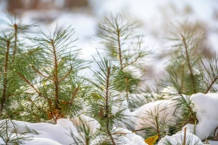 Green young pine trees covered in white snow. Winter natural background.