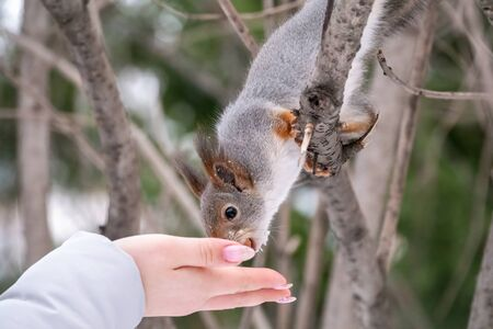 Girl feeds a squirrel with nuts at winter. Squirrel eats nuts from the girls hand. Caring for animals in winter or autumn. 版權商用圖片