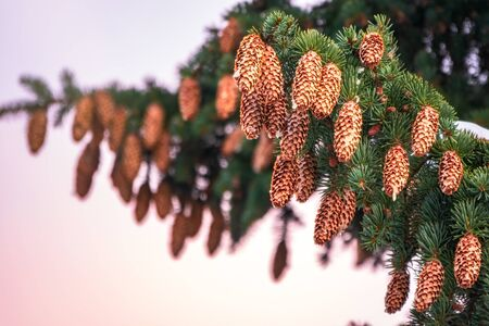 Green spruce branches with needles and cones against a sunset sky. Many cones on spruce. Fir tree. Background image with copy space.