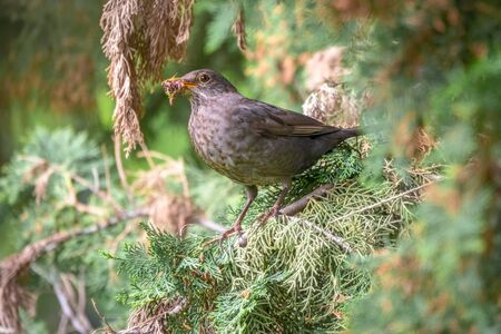 The female blackbird, Turdus merula, collects food for her chicks. Blackbird among branches of a thuja tree. Bird with beak full of worms. Close-up of foraging parent animal collecting food. Standard-Bild - 133772340