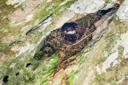 Small black and white bird of the white-throated dipper, lat. Cinclus cinclus sits in the nest on the rock.