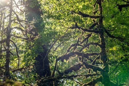 Mit Moos bewachsene Bäume in einem dichten Wald werden von der Sonne beleuchtet. Frühling oder Sommer natürlicher Hintergrund. Standard-Bild