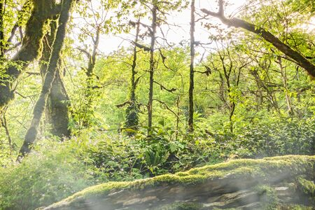 Sun through trees overgrown with moss in dense rainforest. Spring colors in the mountain forest. Morning fog in a dense green forest.