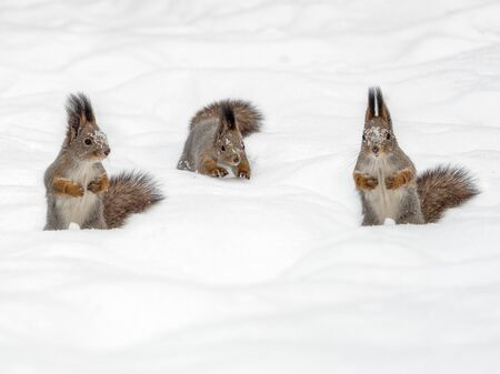 Three squirrels on white snow. Squirrels in winter. Several squirrels. Three squirrels together.