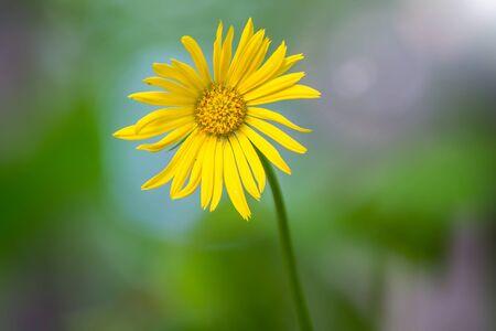 Fiore di Doronicum giallo, camomilla gialla su sfondo verde sfocato. Colori primaverili. Copia lo sfondo dello spazio