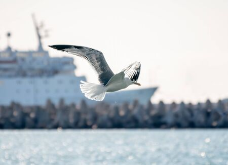 Sea gull flies against the backdrop of the port. The Great black-backed gull, Larus marinus, flying in the sky.