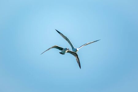 Two Sea gulls in the clear blue sky. The Great black-backed gull, Larus marinus, flying in blue clear sky background, Banco de Imagens
