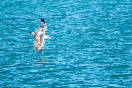 Sea gull flies over blue water. The Great black-backed gull, Larus marinus, flying on blue clear sea background.